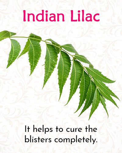 Indian Lilac For Shingles