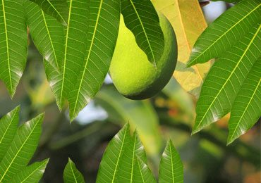 Mango Leaves, a Nature's Gift : Health Benefits of Mango Leaves!