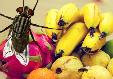 Home Remedies for Killing Gnats and Fruit Flies