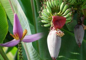 Health Benefits of Banana Flower