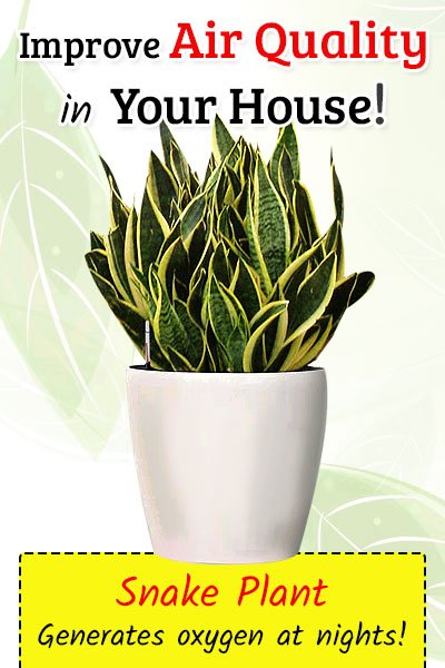 Snake Plant To Improve Air Quality